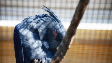 Brněnská zoo slaví úspěch. Odchovala mláďata papouška nestora kea